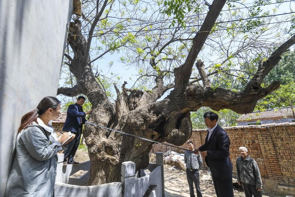 4月24日,故城县文物管理所工作人员在为古树建档。 新华社记者李晓果摄