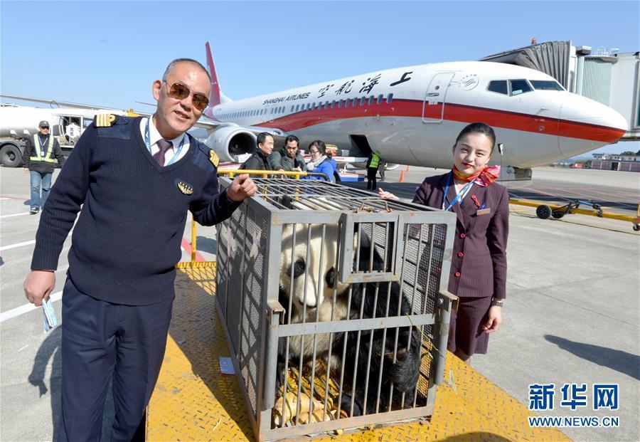 """(图文互动)(1)五星机长相伴大熊猫""""华龙""""温暖回家路"""