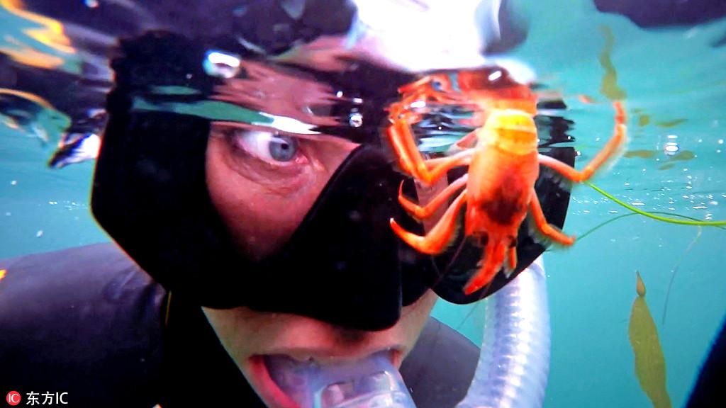 """美国潜水员潜水遭到一群龙虾""""调戏"""" 画面逗趣"""