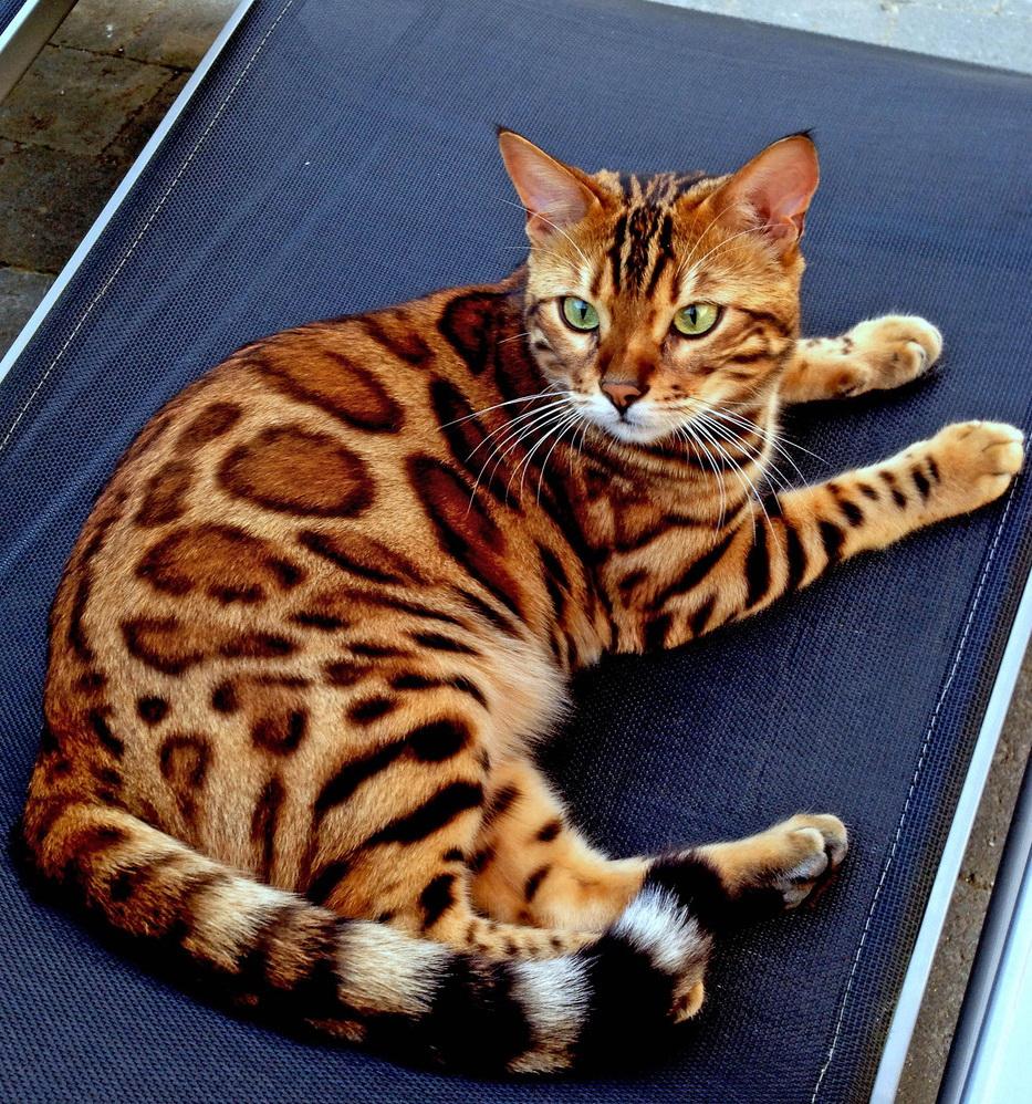"""王者风范!孟加拉猫因长相酷似""""小老虎""""突然走红"""