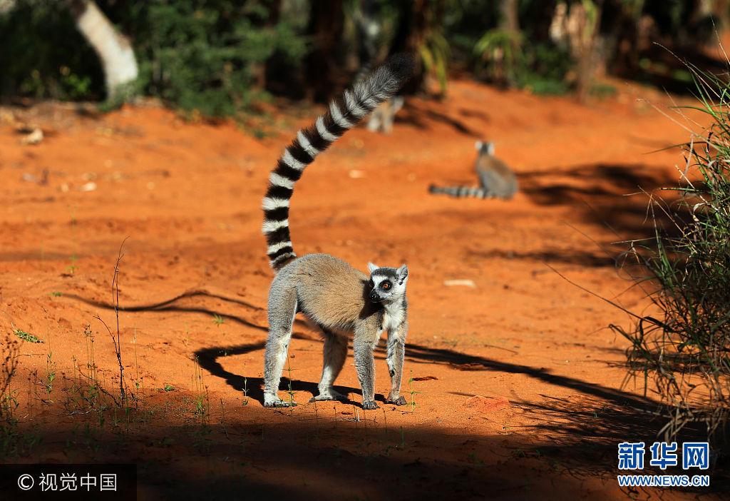 """***_***当地时间2017年8月5日,在马达加斯加佛多凡白兰地保护区公园拍摄的环尾狐猴。环尾狐猴还有一种嗜好,是喜欢聚在一起晒太阳,朝着太阳摊开四肢,使温暖的阳光洒满胸部、腹部、两臂和大腿,因此马达加斯加人又称它们为""""崇拜太阳的动物""""。分布于非洲马达加斯加岛南部和西部的干燥森林中,生活在疏林裸岩地带。环尾狐猴被列入《濒危野生动植物种国际贸易公约》CITES附录Ⅰ中,禁止在国际间的交易。"""