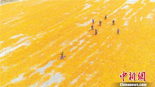 甘肃张掖百万亩制种玉米忙收获满目金黄似画卷