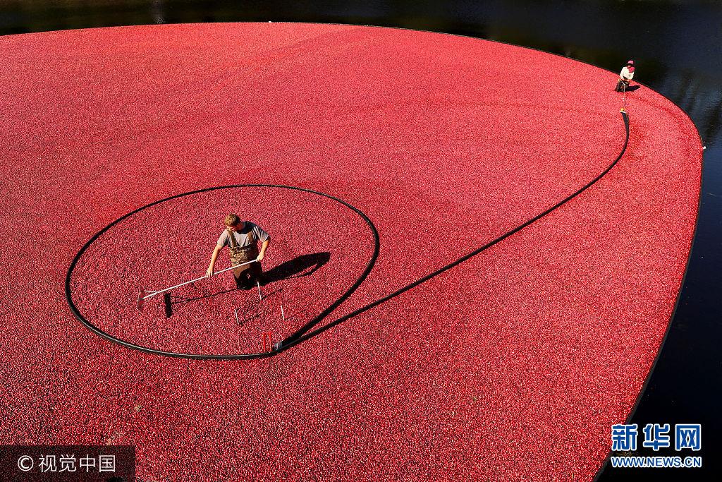 当地时间2017年10月4日,美国马萨诸塞州卡佛,工人收割蔓越莓。***_***CARVER, MA - OCTOBER 4: Workers use a suction hose placed beneath the water and slowly encircle berries as they rake them to the hose to suck them up during cranberry harvest at the Weston Cranberry Corporation's 3.17 acre bog in Carver, MA on Oct. 4, 2017. The berries move to a conveyor that separates the the leaves and debris, and shoots the berries into waiting trailer trucks. (Photo by John Tlumacki/The Boston Globe via Getty Images)