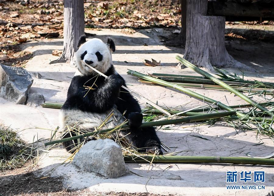 (社会)(1)大熊猫尽享冬日暖阳