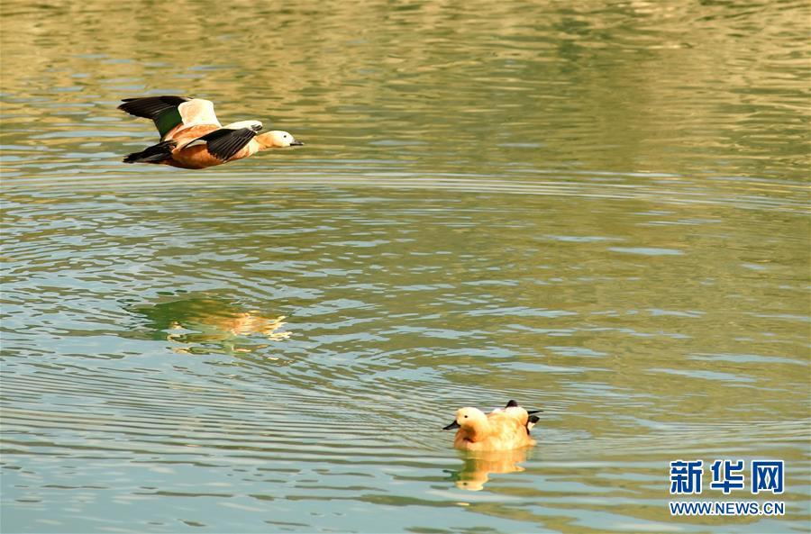 (环境)(2)拉萨河上鸟尽欢