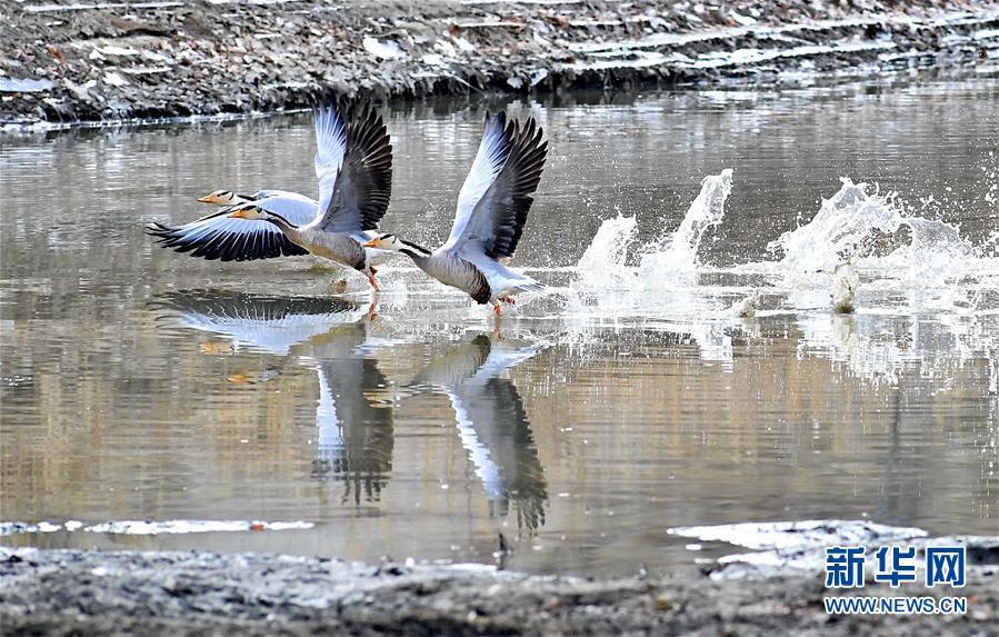 (环境)(3)拉萨河上鸟尽欢