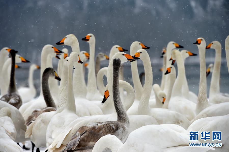 (环境)(3)雪中天鹅舞