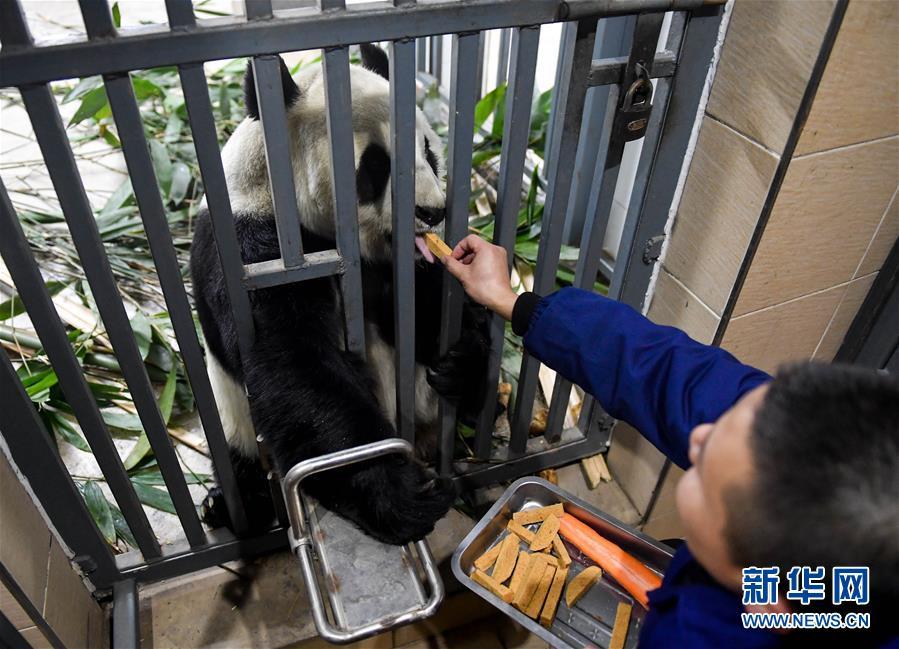 (社会)(1)大熊猫的冬日生活