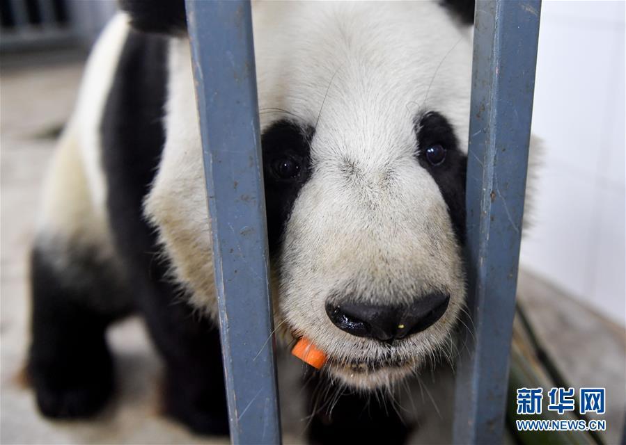 (社会)(2)大熊猫的冬日生活