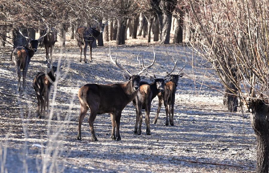 这是1月7日在泽当社区万亩人工林里拍摄的马鹿。