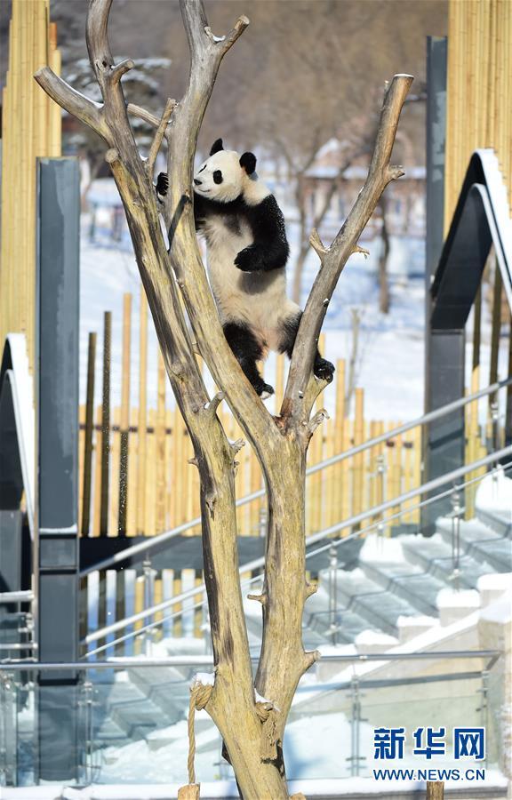 """(社会)(2)辽宁沈阳:""""功夫熊猫""""雪中显身手"""