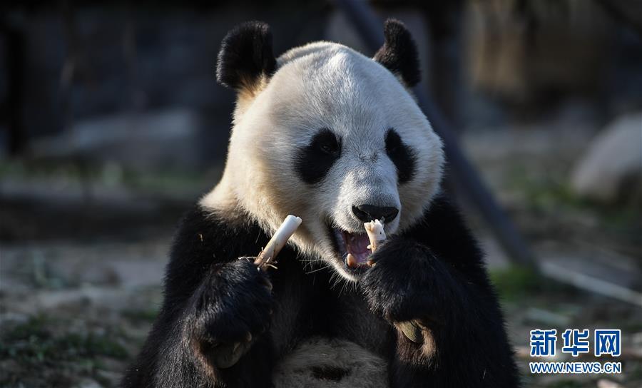 """(社会)(1)大熊猫""""华豹""""""""金宝宝""""启程前往芬兰"""