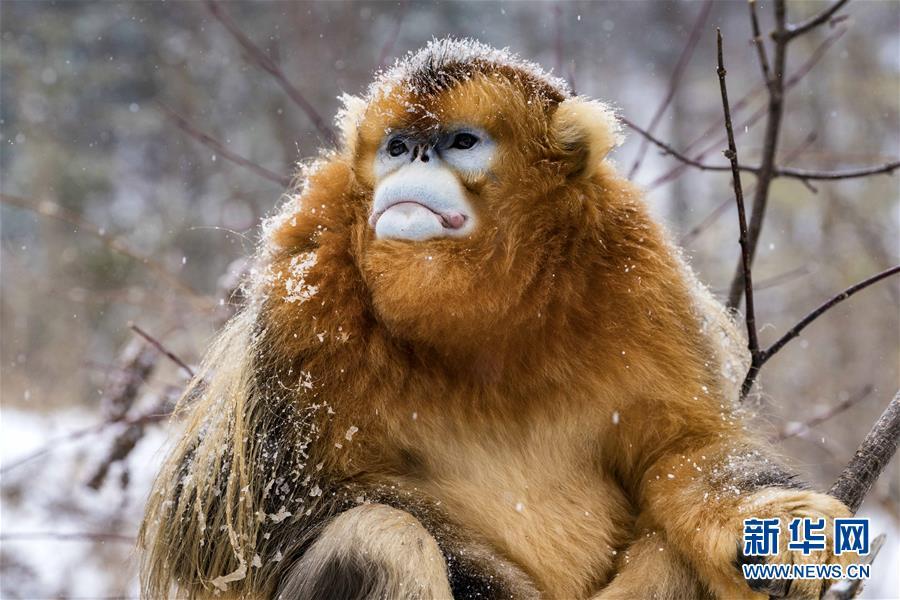 (环境)(12)湖北神农架 雪趣金丝猴