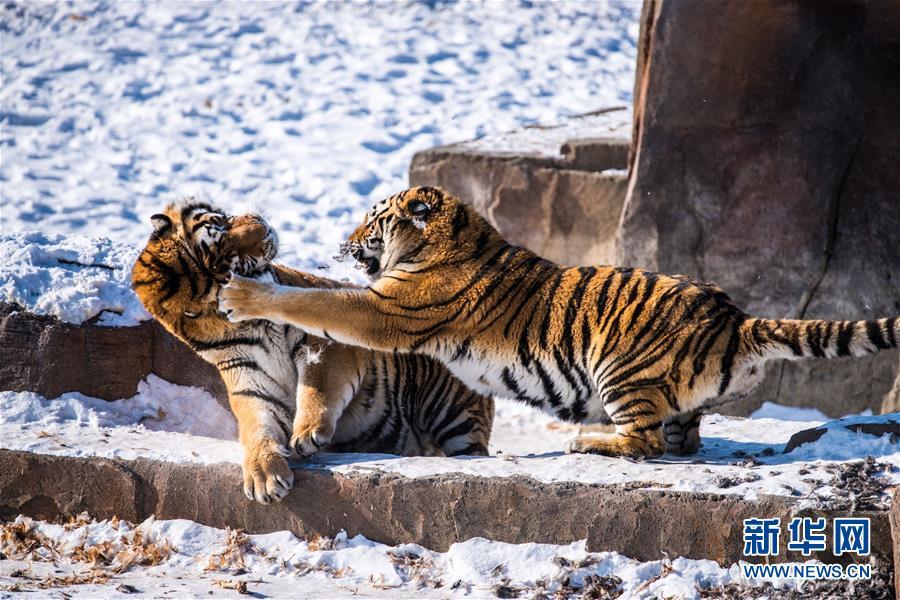 #(环境)(1)哈尔滨:东北虎进行野化训练