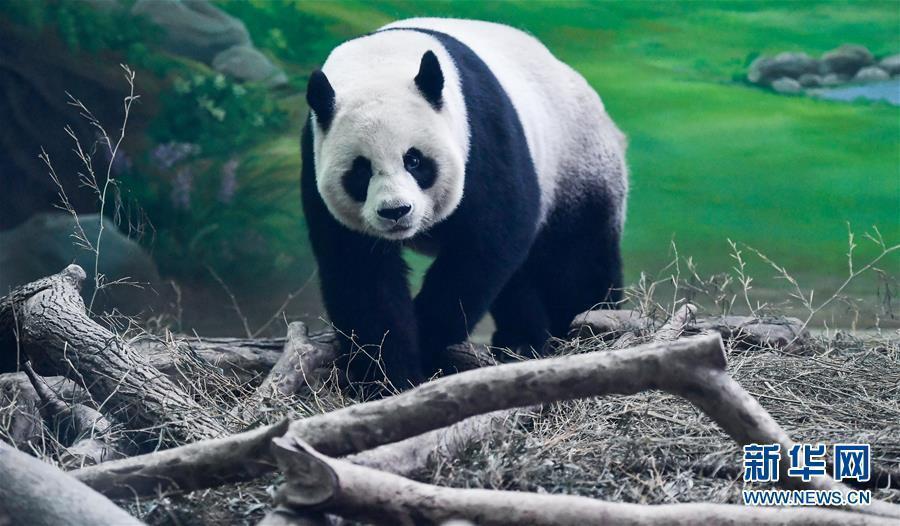 """(社会)(7)大陆赠台大熊猫""""团团""""""""圆圆""""欢度14岁生日"""