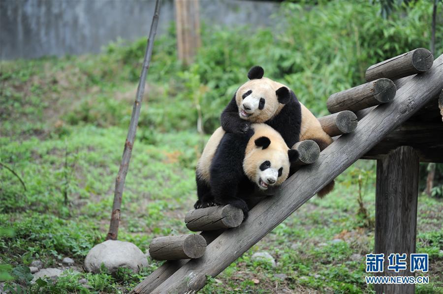 (社会)(1)熊猫初长成