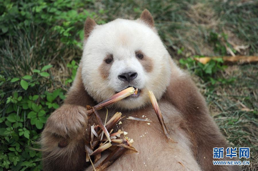 """(XHDW·图文互动)(1)秦岭棕色大熊猫:""""弃仔""""到""""七仔"""" 命运大不同"""