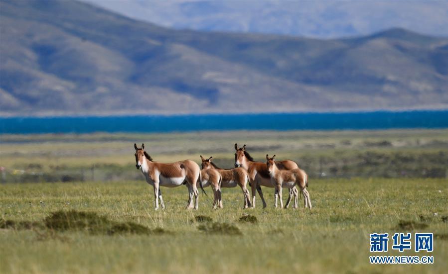 (环境)(3)西藏阿里:野生动物的乐园