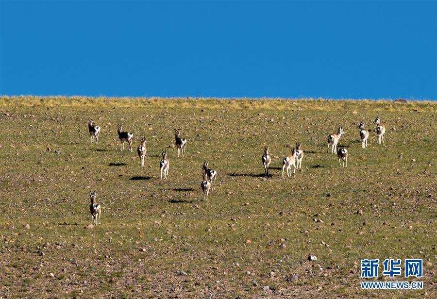 (环境)(1)西藏阿里:野生动物的乐园