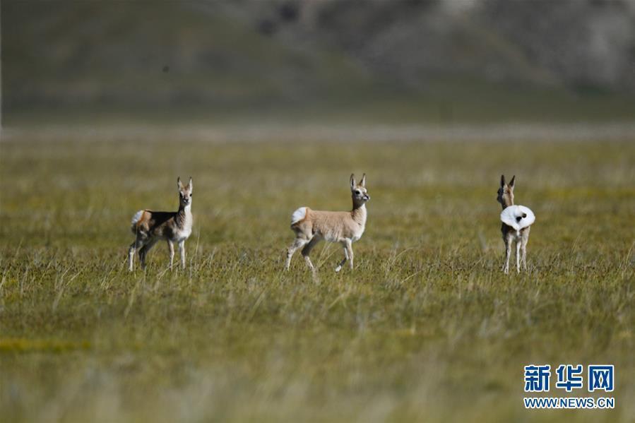(环境)(8)西藏阿里:野生动物的乐园
