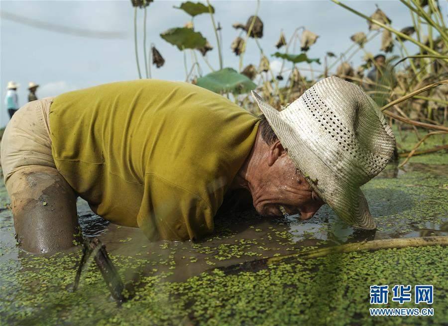 (丰收的味道·图文互动)(1)泥水和汗水中的丰收——来自江汉平原挖藕现场的报道