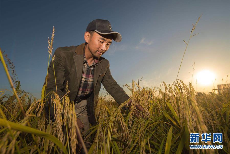 (丰收的味道)(图文互动)(1)稻人有道——种粮大户李学明的十余年坚守