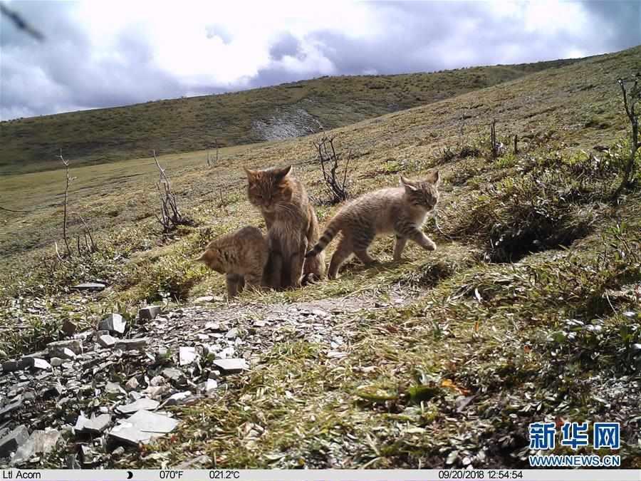 (图文互动)(1)三江源地区首次记录到荒漠猫抚育幼崽影像