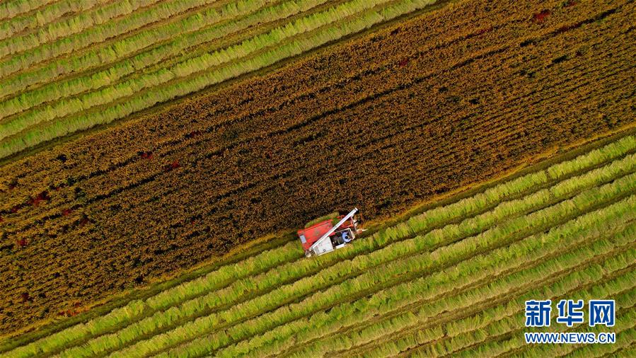 #(经济)(1)淮安水稻进入收割阶段