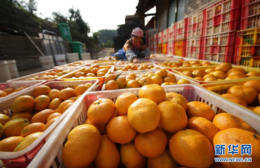 #(社会)(2)贵州丹寨:苗乡金秋 柑橘飘香