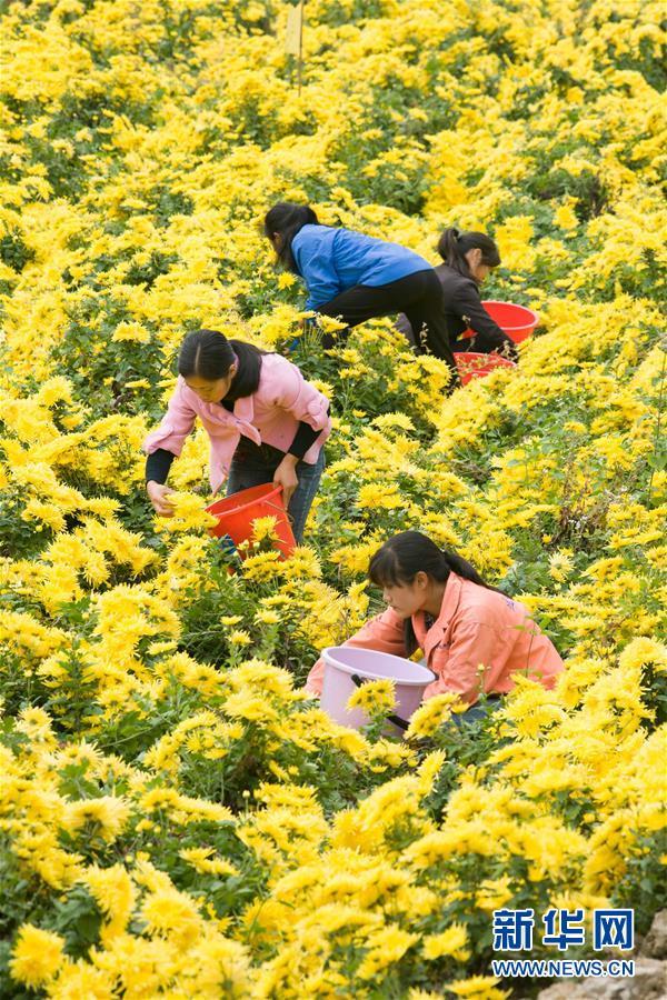 #(经济)(1)金秋时节 收获菊花