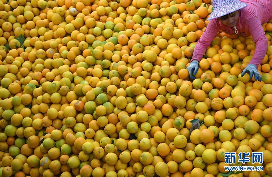 """(经济)(2)江西:""""脐橙之乡""""丰收采摘忙"""