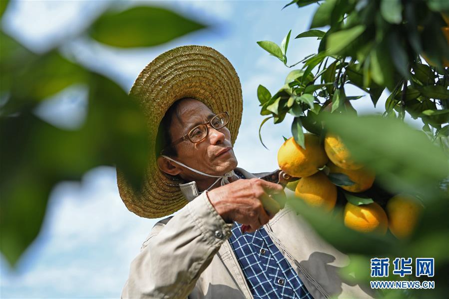 """(经济)(9)江西:""""脐橙之乡""""丰收采摘忙"""