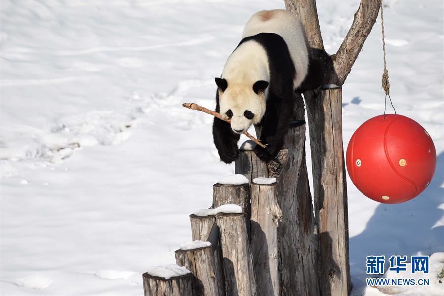 (社会)(1)大熊猫迎来了又一个雪季