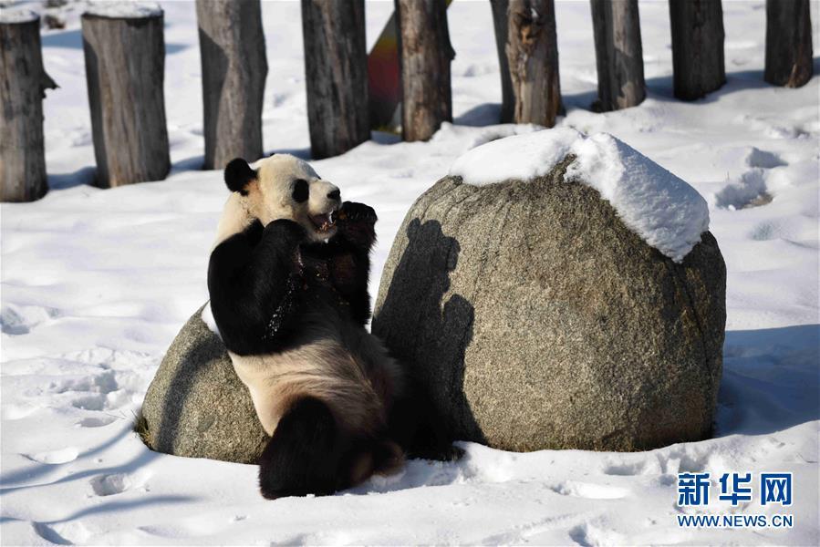 (社会)(2)大熊猫迎来了又一个雪季