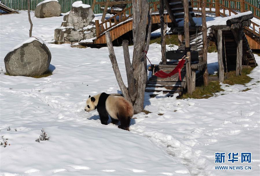 (社会)(3)大熊猫迎来了又一个雪季