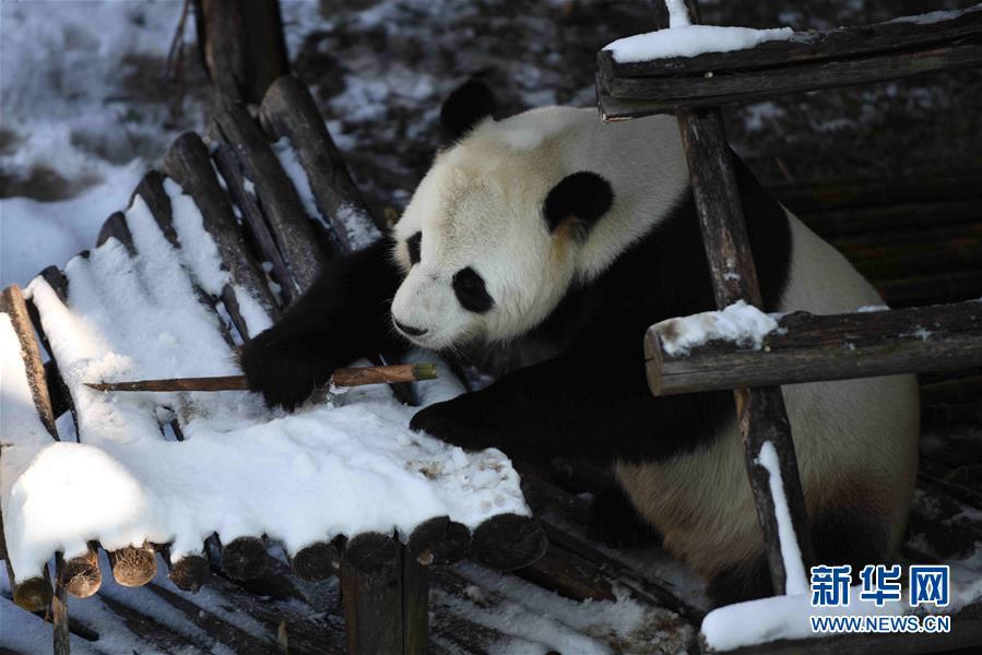 (社会)(5)大熊猫迎来了又一个雪季