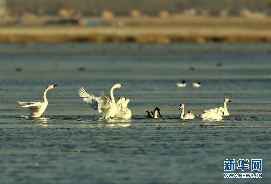 (环境)(1)河北坝上 天鹅起舞
