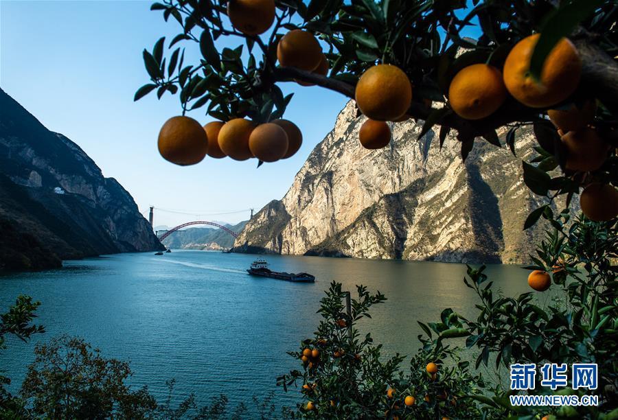 #(经济)(1)湖北秭归脐橙丰收上市