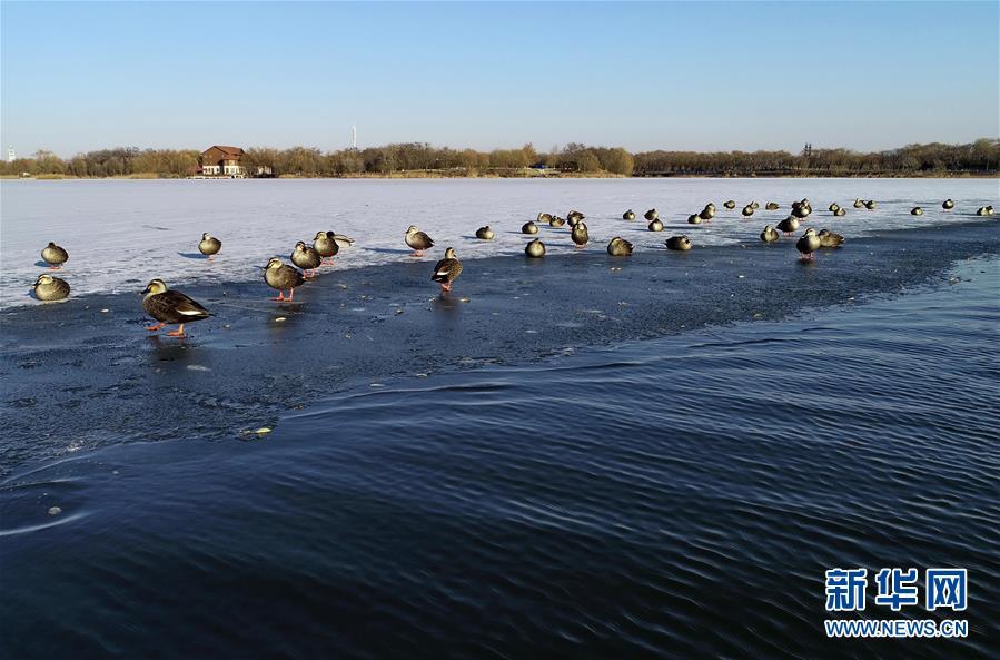 (环境)(1)河北唐山:水鸟戏南湖