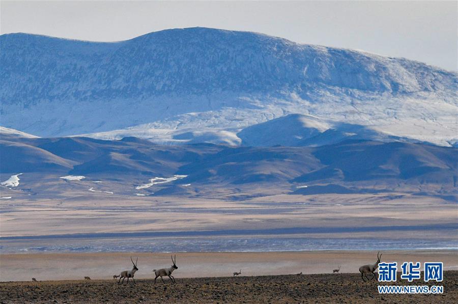 (环境)(1)藏羚羊的家园