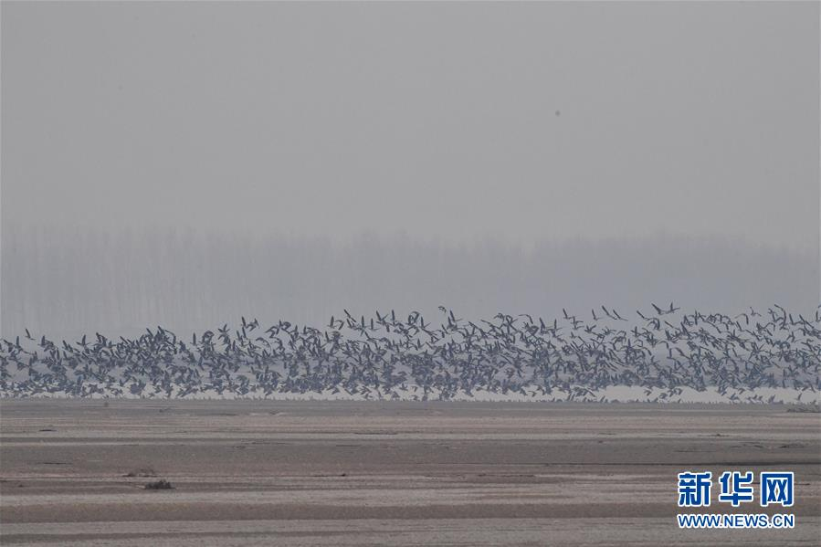 """(环境)(6)河南黄河湿地现""""万鸟飞临""""景观"""