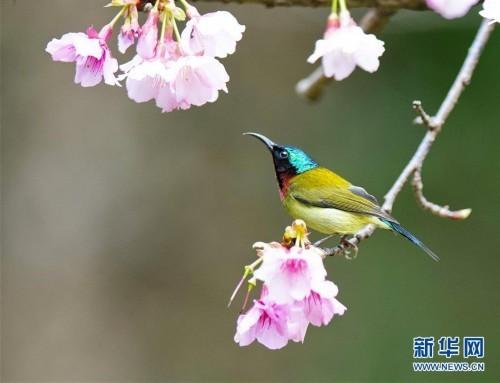 (新华网)(2)樱花丛中鸟翻飞