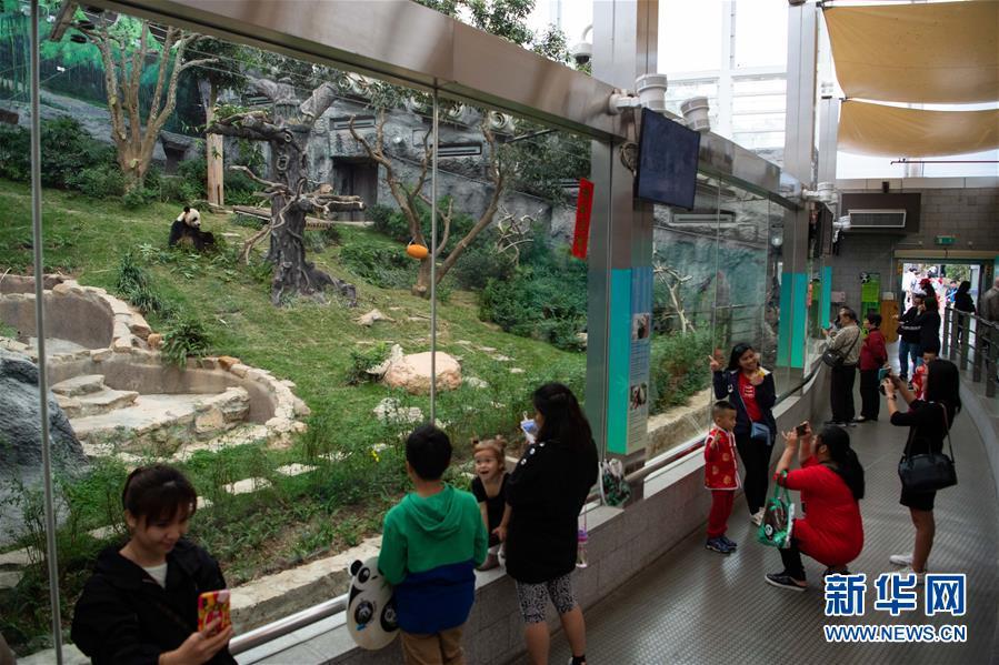 (XHDW)(1)澳门大熊猫馆免费开放庆佳节