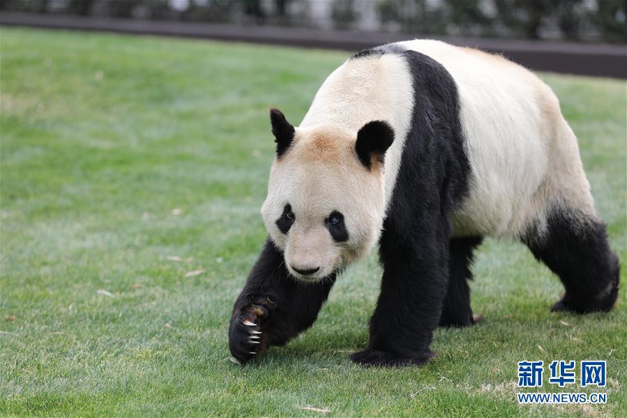 """(国际)(2)大熊猫""""永明"""":我收到礼物了!"""