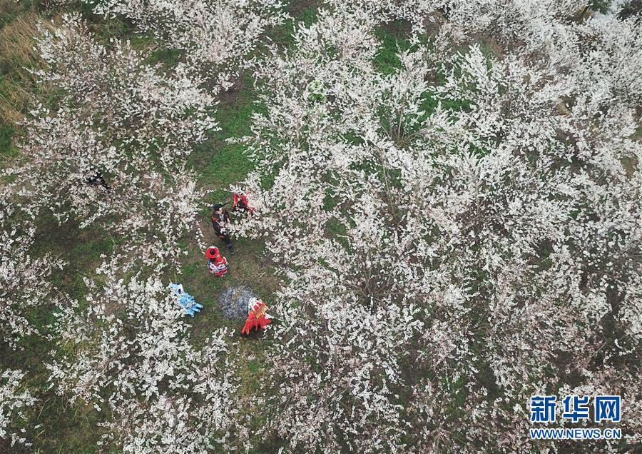 #(社会)(1)贵州大方:樱桃花开引客来