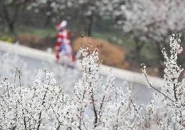 #(社会)(2)贵州大方:樱桃花开引客来