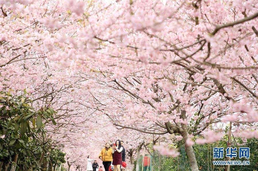 #(环境)(1)重庆北碚:春暖樱花开