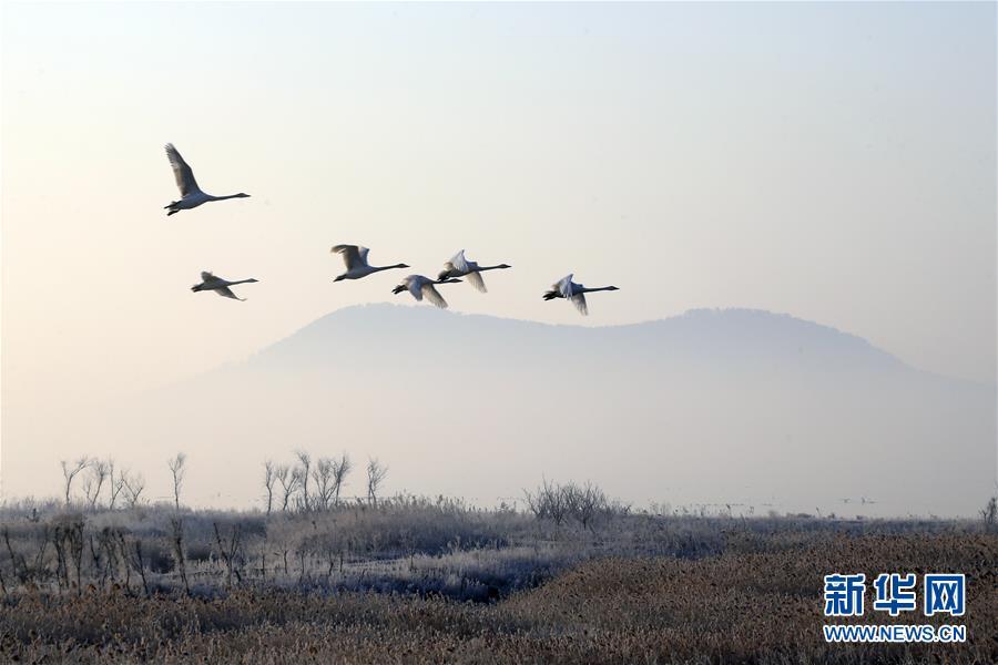 #(环境)(2)山东荣成:大天鹅开始回迁