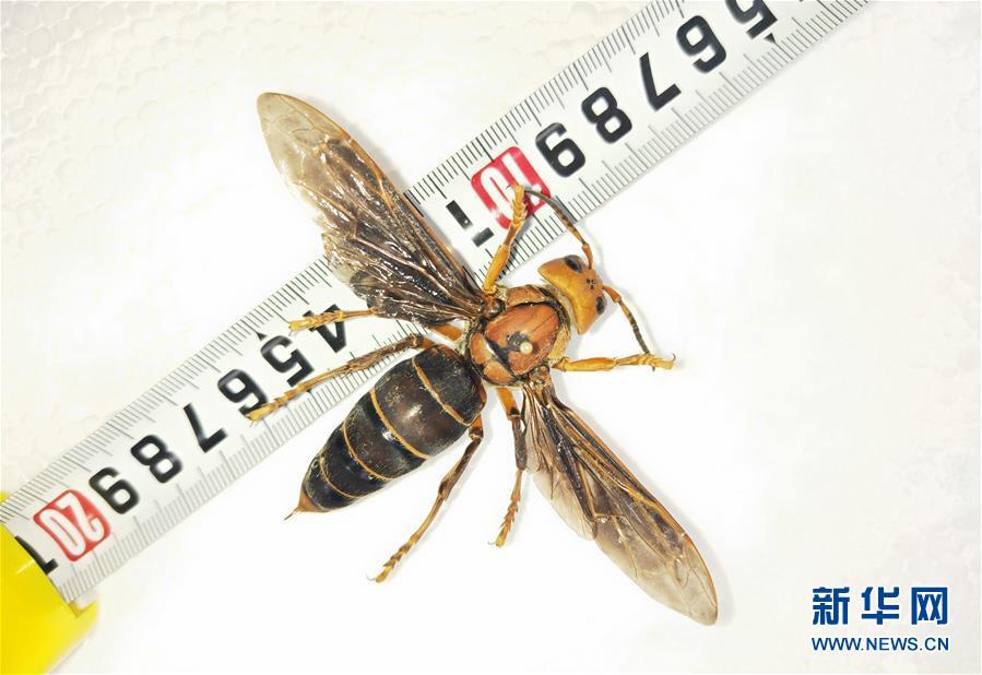 (图文互动)(1)昆虫专家在云南发现体长超过6厘米的超级大黄蜂