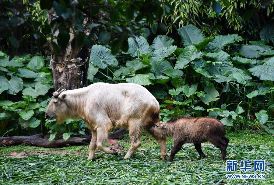 新闻图片    当日,广州长隆野生动物世界展出今年1月份相继诞生的五雄